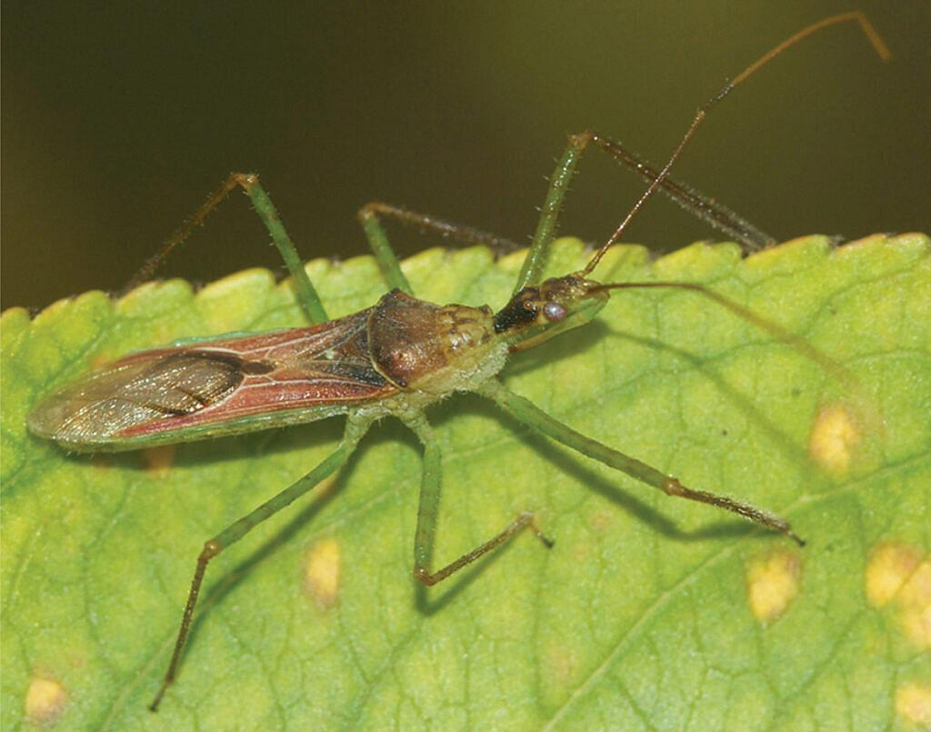 Zelus renardii, the leaf hopper assassin bug is a predacious insect contained within tribe Harpactorini. Diurnal and found on both wild and crop plants, Z. renardii has spread from its native habitats in western North and Central America into three other biogeographic regions across the globe.